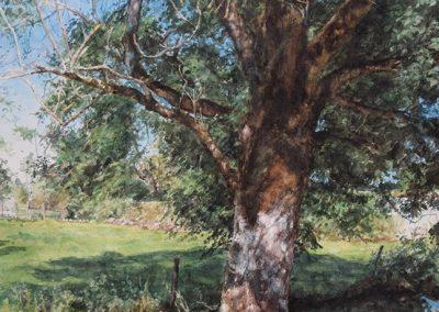 Le frêne de Conche - 65 x 50 cm - aquarelle - © Marie-Pierre Lavallard